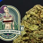 CBD Ziedi - SUICIDE CANDY, 3gr.(EXCLUSIVE LIMITED EDITION - INDOOR) My growing company